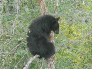 Baby Black Bear, Canadian wildlife, nature