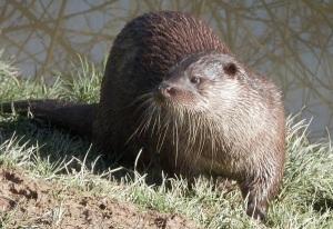 otter, British wildlife, mammal, animal